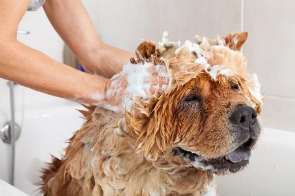 Lavage chien